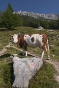Cow on a alm or mountain meadow in the kaisergebirge mountain range in tyrol, Stock Photos