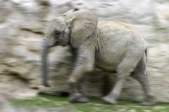 Stock Photo of running african elephant (loxodonta africana, elephas africanus, elephas oxio