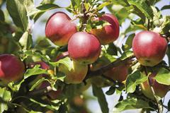 apples on a tree in an apple plantation - stock photo