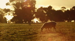 Sheep and Lamb Grazing at Sunset Stock Footage