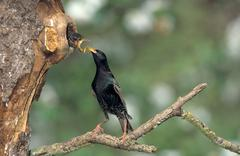 Common starling (sturnus vulgaris) feeding fledgling in tree hollow, allgaeu, Stock Photos