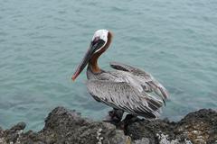 Brown pelican (pelecanus occidentalis), galapagos islands, ecuador, south ame Stock Photos