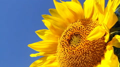 Sunflower on a Bright Sunny Day - stock footage