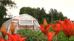 Dark orange lily flowers and greenhouse in country yard garden Stock Footage