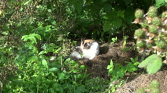 Dewberry berry bunch and cute tabby cat wash itself on sunlight Stock Footage