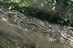 Gopher snake (pituophis catenifer), zoo photo, british columbia, canada, nort Stock Photos