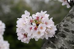 japanese cherry blossoms growing directly on a tree stump, kyoto, japan, asia - stock photo