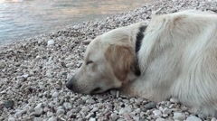 Big dog sleeping near water at the beach Stock Footage