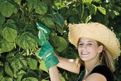 female gardener harvests string beans - stock photo