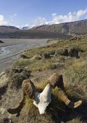 dall sheep (ovis dalli) scull, big horn creek behind, donjek route, st. elias - stock photo