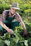 Proud gardener harvesting vegetables Stock Photos