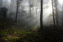 Stock Photo of autumn in a forest, sun beams cutting through mist, emmendingen, baden-wuertt