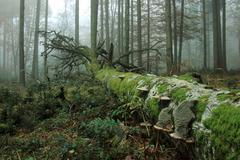 Deadwood beech (fagus sylvatica) overgrown with moss and fungus Stock Photos