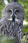 Stock Photo of great grey owl, great gray owl (strix nebulosa)