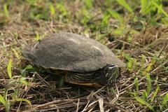 Eastern river cooter (pseudemys concinna) Stock Photos