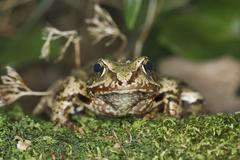 Agile frog (rana dalmatina) Stock Photos