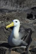 Waved albatross (phoebastria irrorata), galapagos islands, ecuador, south ame Stock Photos