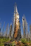 New life awakening after forest fire, burnt, charred tree, santiam pass, casc Kuvituskuvat