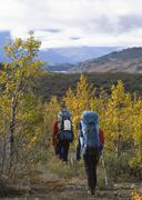 Two alpinists passing autumnal balsam poplar trees (populus balsamifera), nea Stock Photos