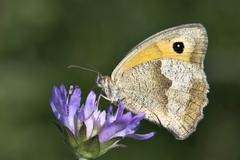meadow brown butterfly (maniola jurtina) - stock photo