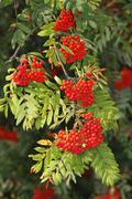 Mountain ash or rowan tree (sorbus aucuparia), with rowan berries, fruit, sch Stock Photos