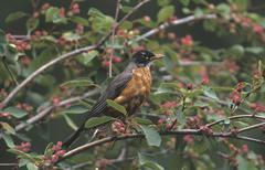 American robin (turdus migratorius), british columbia, canada, north america Stock Photos
