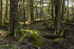sunbeams in a mystical forest, routeburn road, otago, south island, new zeala - stock photo
