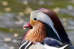mandarin duck (aix galericulata), portrait - stock photo