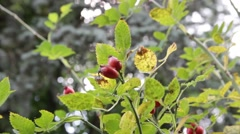 Rosehip swaying in the wind - Rose close up shot Stock Footage