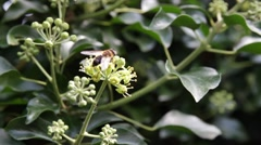 Ivy and Bees Insekts Efeu Bienen Insekten  - Close Up Shot 5 Stock Footage