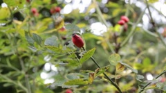 Rosehip swaying in the wind, close up shot, Rose Stock Footage