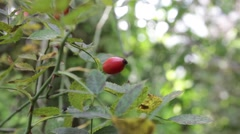 Rosehip swaying in the wind  - Steady Shot Stock Footage