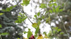Rosehip Garden  - Pan Shot Stock Footage