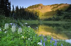 wild flowers on the bank of tipsoo lake in chinook pass, mount rainier nation - stock photo