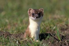 Ermine or stoat or short-tailed weasel (mustela erminea) in its summer coat Stock Photos