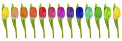 Row of rainbow-coloured tulips on white Stock Photos
