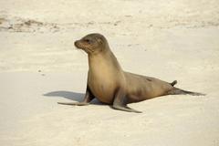 galapagos sea lion (zalophus wollebaeki), espanola island, galapagos, ecuador - stock photo
