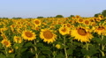 Field with sunflowers. Panorama HD Footage