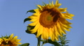 Field with sunflowers.  close up panorama HD Footage
