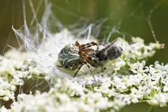 Oak spider (aculepeira ceropegia, ex araneus c.) with prey Stock Photos