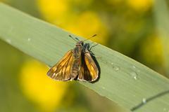 Large skipper butterfly (ochlodes venatus), upper bavaria, germany, europe Stock Photos