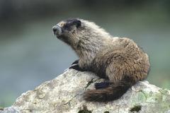 hoary marmot (marmota caligata), alaska, north america - stock photo
