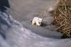 Ermine or stoat or short-tailed weasel (mustela erminea) in its winter coat Stock Photos