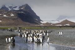 King penguins (aptenodytes patagonicus), salisbury plain, south georgia Stock Photos