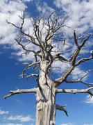 Dead tree against blue sky with fleecy clouds, raavredendurrie valley, borgef Stock Photos