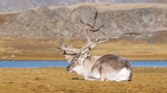 Wild Arctic reindeer sleeping and chewing his food Stock Footage
