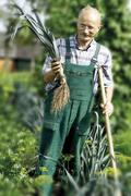Stock Photo of gardener harvesting leeks