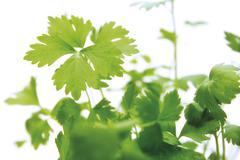 Leaf celery (apium graveolens var. secalinum), herb Stock Photos