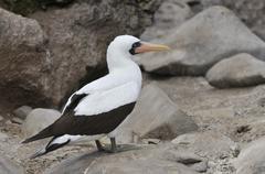 nazca booby (sula granti), espanola island, galapagos, ecuador, south america - stock photo
