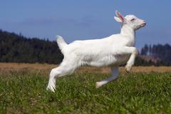 White nanny goat, domestic goat (capra aegagrus hircus, capra hircus hircus), Stock Photos